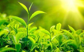 برگ چای و مهار سرطان ریه