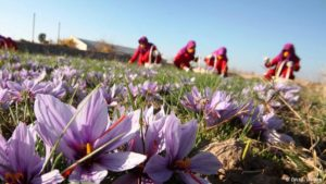 هرات امسال بیش از ۸ تن زعفران وارد بازار میکند